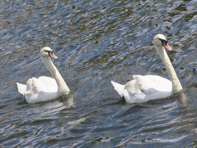 Two white swans swimming in a canal in Amsterdam stock image