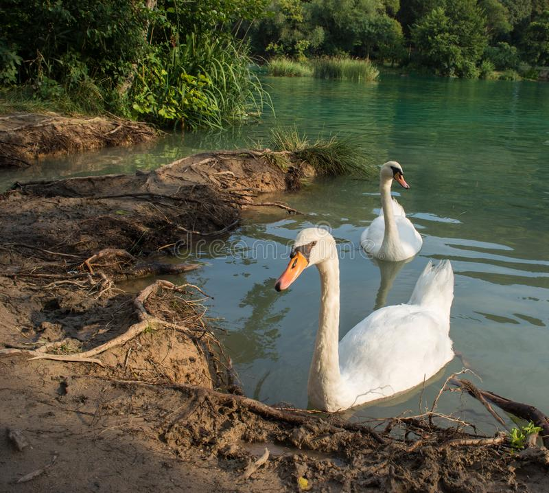 Two white swans swimming on lake royalty free stock image