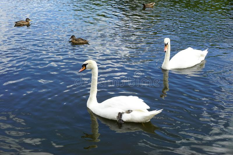 Two white swans swimming on a lake with ducks in the background royalty free stock photography