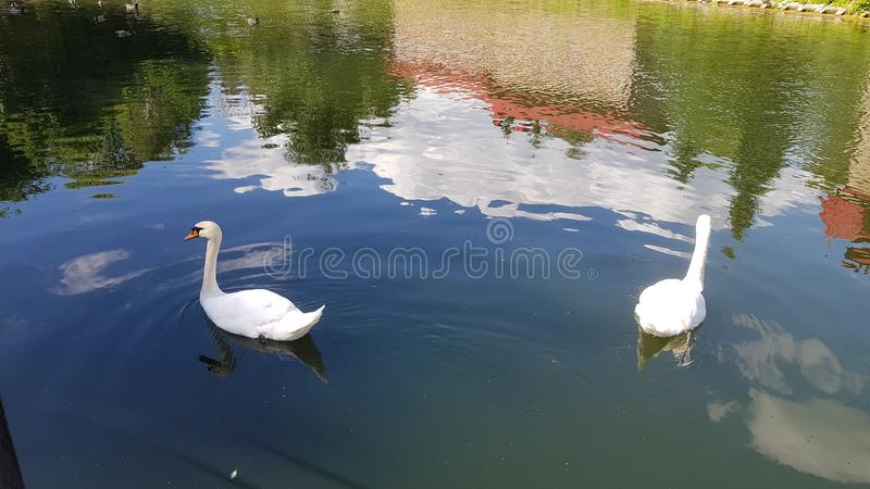 Two white swans are swimming royalty free stock photo