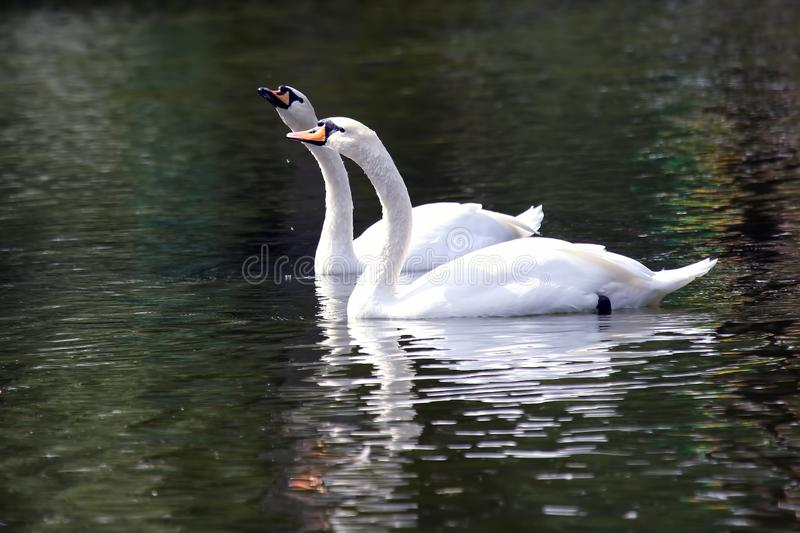 Two white swans swimming in the pond stock photography