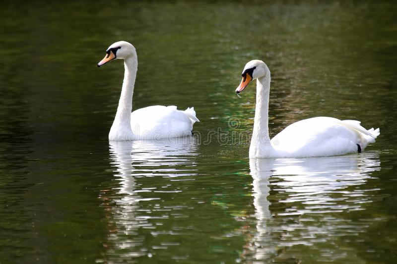 Two white swans swimming in the pond royalty free stock images