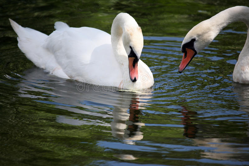 Two white swans swimming royalty free stock photography