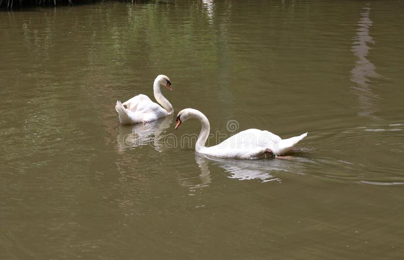Two white swans are swimming on the pond enjoying the nature. royalty free stock image