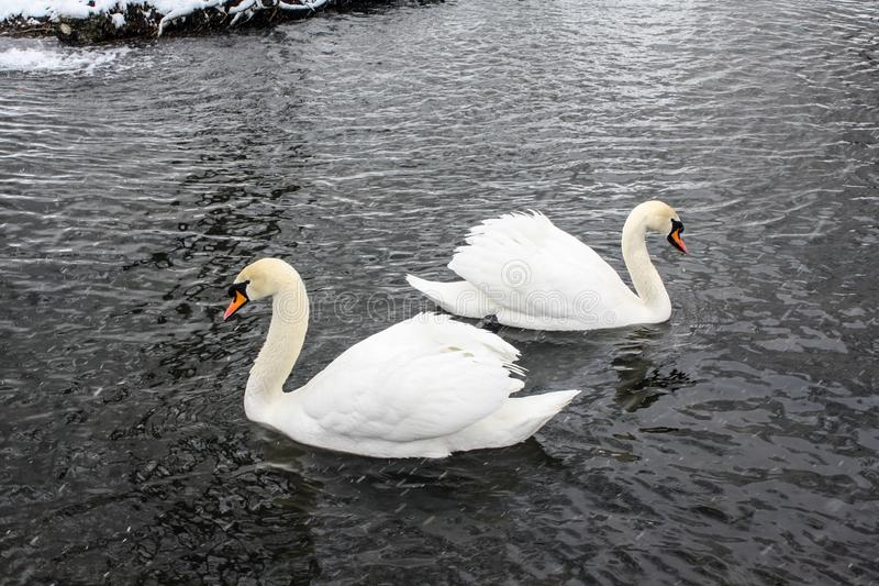 Two white swans on a winter pond stock photos