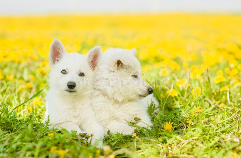 Two White Swiss Shepherd`s puppies lying on dandelion field together stock images