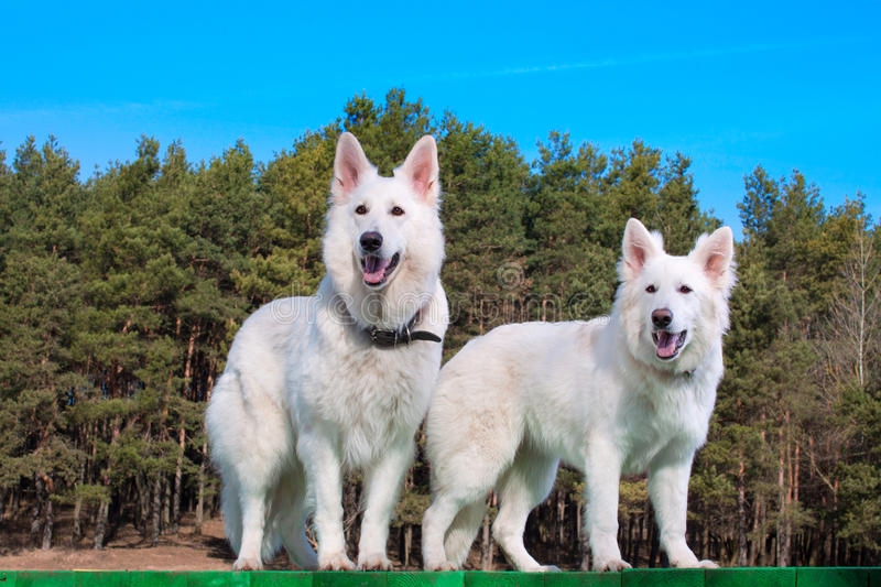 Two white Swiss Shepherds stock photo