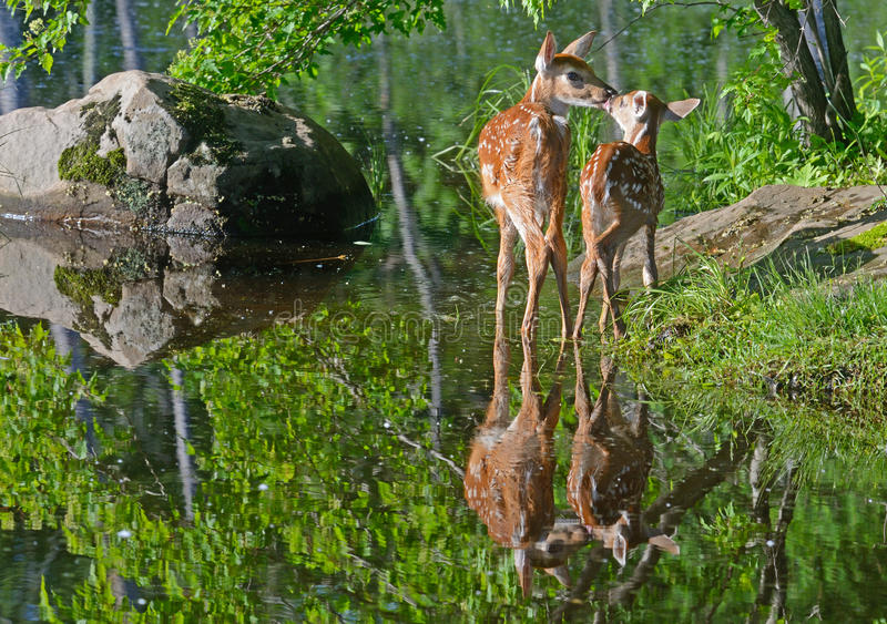 Two White tailed deer fawns kissing. royalty free stock photos