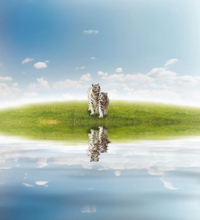 Two white tigers. On the meadow stock illustration