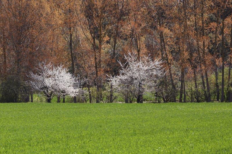 Two white trees stock photos