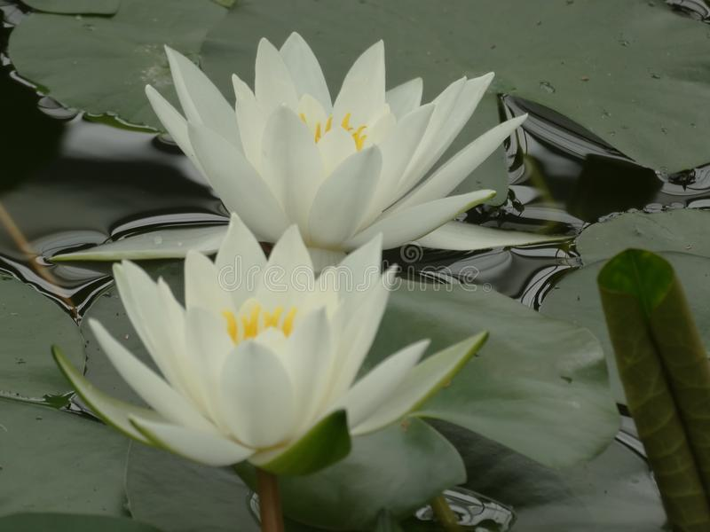 Two white water lilies stock photo