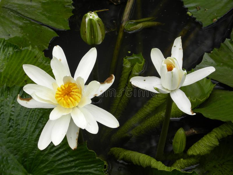 Two white water lilies in the lake. Close up of white 2 water lily flowers, Nymphaea, in the lake with yellow center stock photography