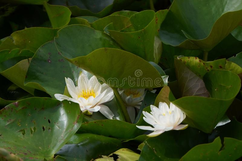 Two white water lilies or Lotus in large numbers greenery on the lake, water plants and flowers. Two white water lilies or Lotus in large numbers greenery on stock images