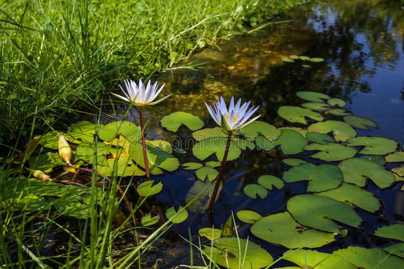 Two white water lilies in the pond. A spring pattern of a pond full of green leaves and two white water lilies surrounded by green grass in the park on a sunny royalty free stock photography