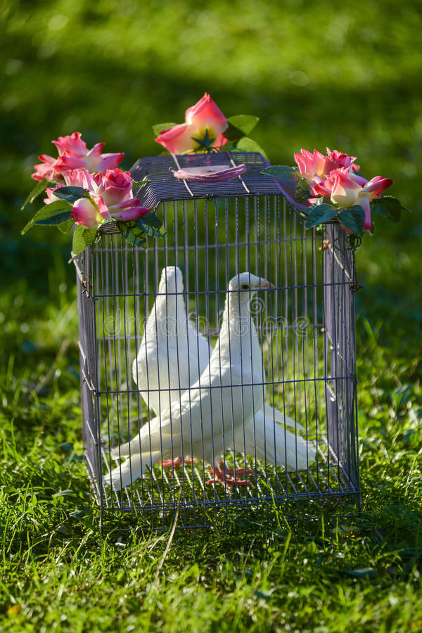 Two white wedding pigeons in cage. On the green grass royalty free stock images