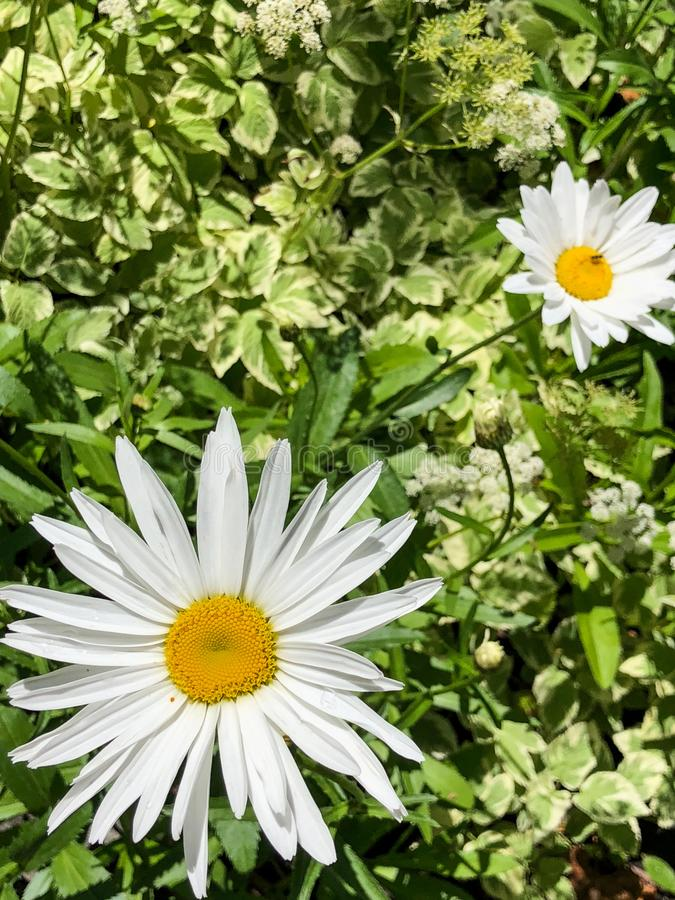Two white and yellow daisies in field. Beautiful pair of white and yellow daisies blooming in a field surrounded by green leaves royalty free stock photography