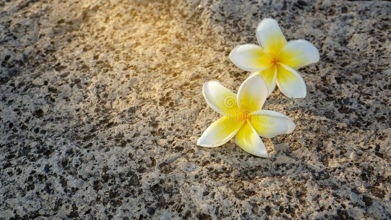 Two of white and yellow petals of Plumeria blooming fall down on grey rough surface skin of granite stone background. Under sunlight, with copy space, this royalty free stock photos