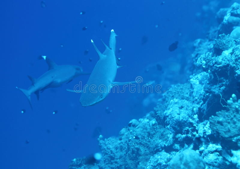 Download Two whitetip sharks stock image. Image of obesus, corrals - 29133577