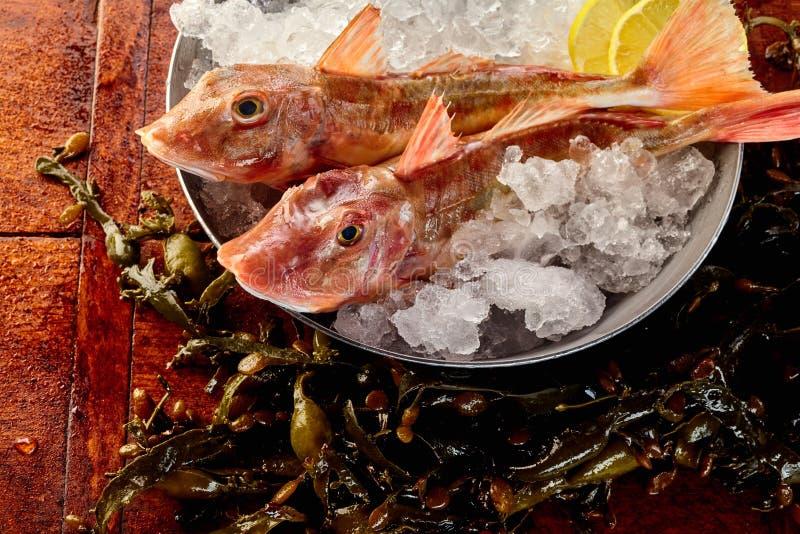 Two whole gurnard fish on ice in metal bucket stock image