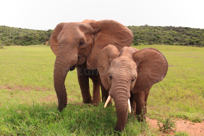 Download Two Wild African Elephants Eating Stock Photo - Image: 20492728
