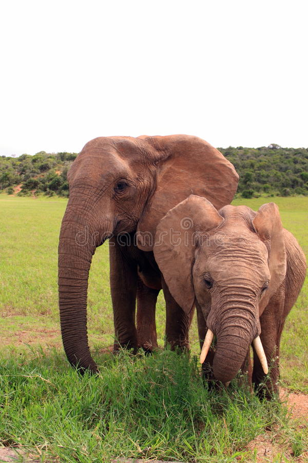 Two wild african elephants eating stock photos