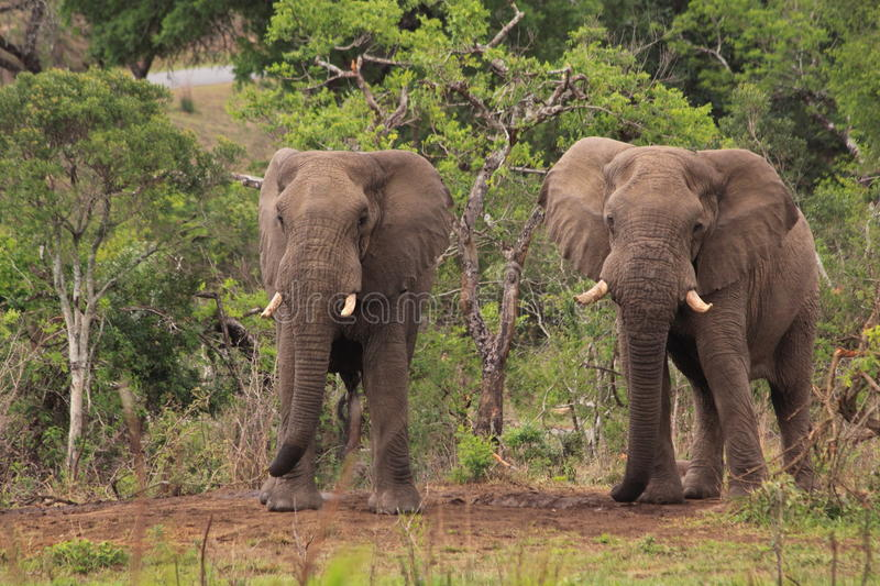 Two wild african elephants safari game drive stock photo