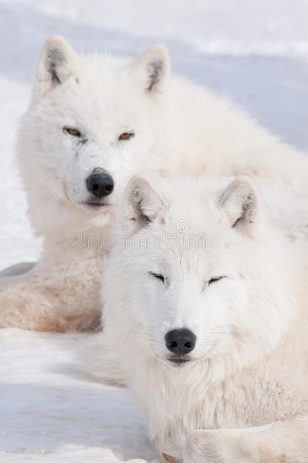 Two wild arctic wolf are lying on white snow. Canis lupus arctos. Polar wolf or white wolf. royalty free stock photography