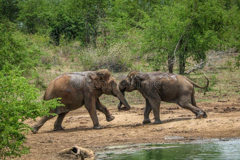 Two wild bull elephants fight at Udawalawa,  Sri Lanka. Dangerous, hate, safari, tourism, trunk, quarrel, power, strong, photo, photography stock photos