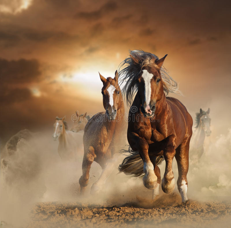 Two wild chestnut horses running together in dust. Front view
