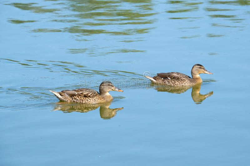 Wild Duck on a lake royalty free stock images