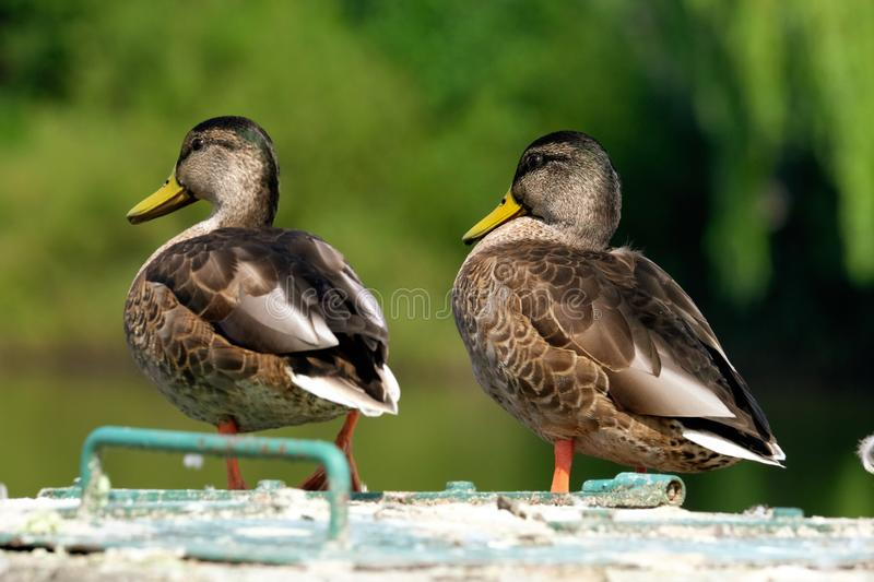 Two Wild Duck watching stock photography