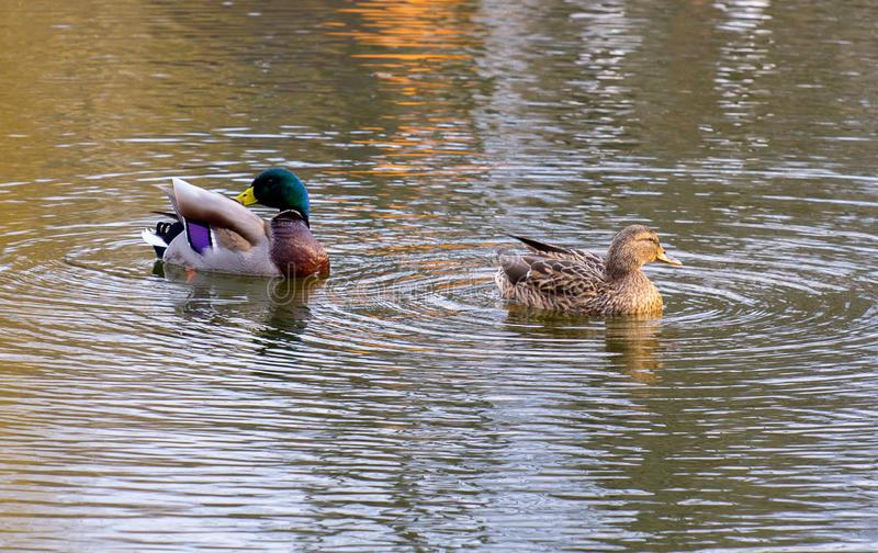 Two wild ducks in river stock photography