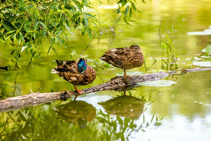 Two wild ducks royalty free stock photography