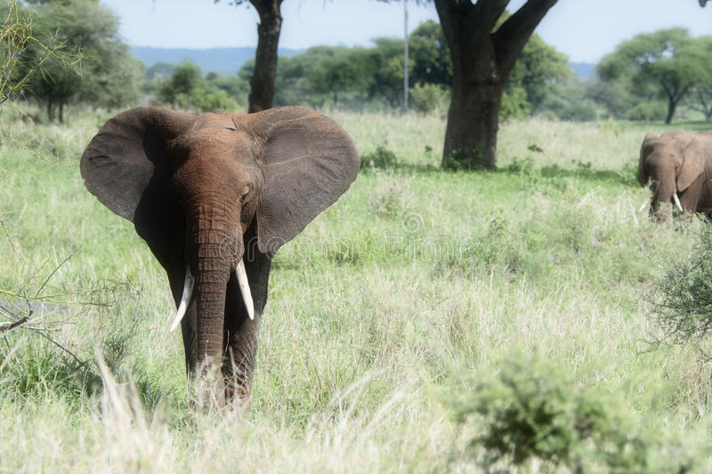 Two Wild Elephants in a Family Group in a Lush Tanzania Landscape royalty free stock images