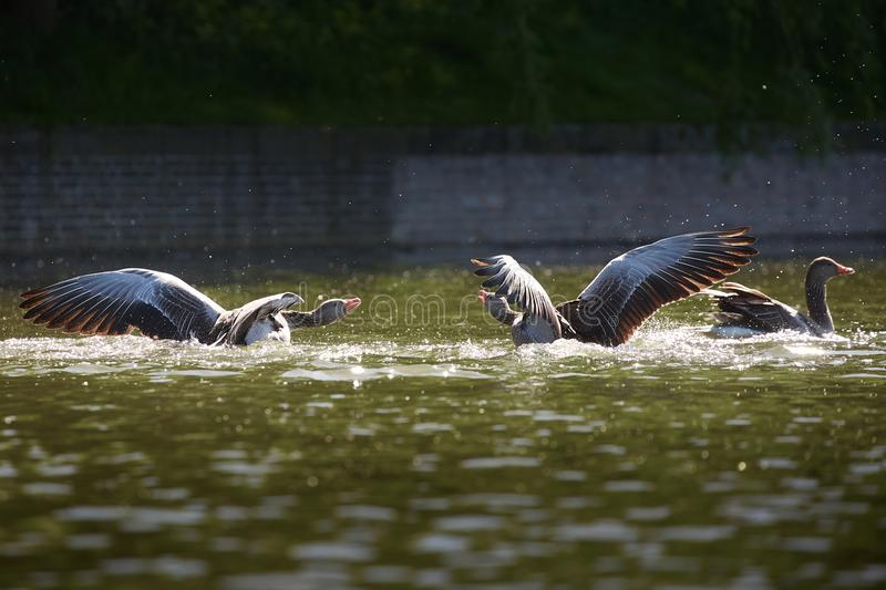 Two wild geese in quarrel royalty free stock photography
