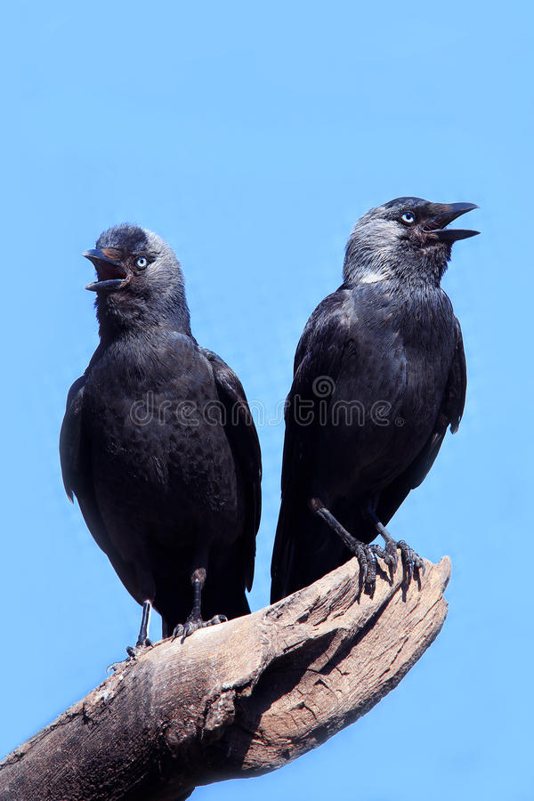 Two Wild Jackdaw royalty free stock photo