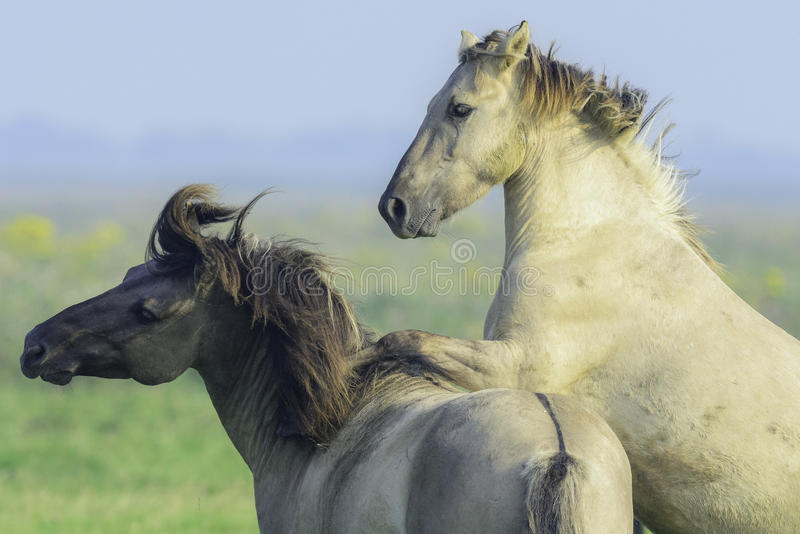 Two wild konik horses. This two wonderful konik horses are playing together royalty free stock photo