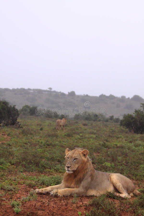 Two wild lions in the rain. In the addo elephant national park in south africa. One resting, one walking away royalty free stock photography