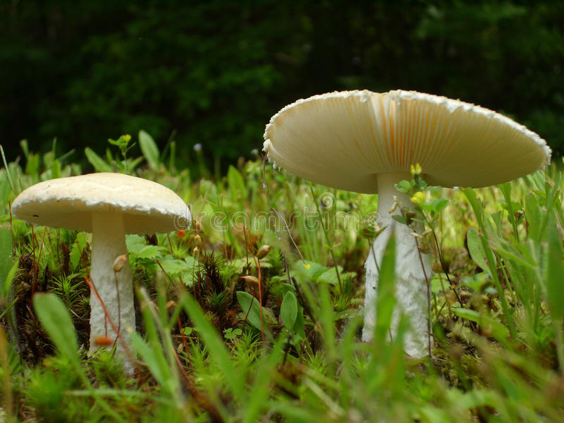 Two wild mushrooms in a field of grass stock photography