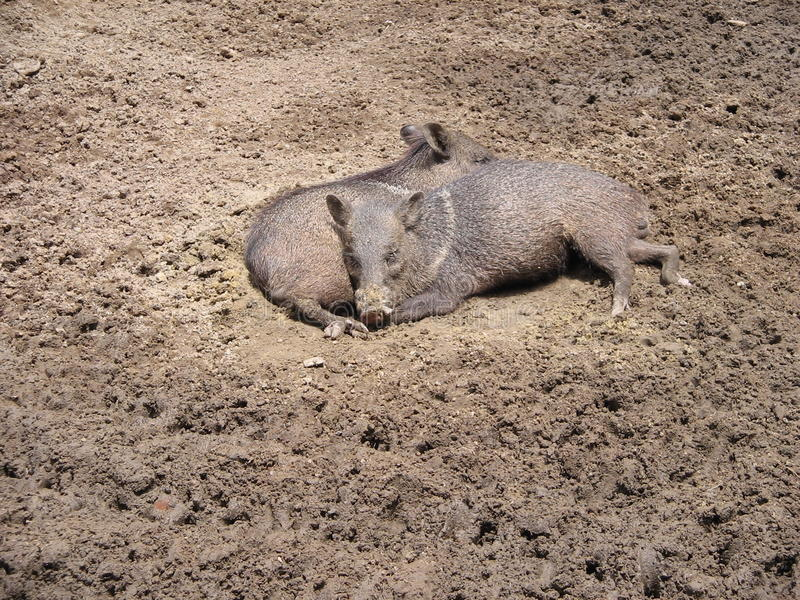 Two wild pigs resting in the mud. Two pigs resting in the mud during a sunny day at the zoo in Maracay , Venezuela royalty free stock image