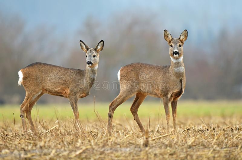 Two wild roe deers in a field royalty free stock images