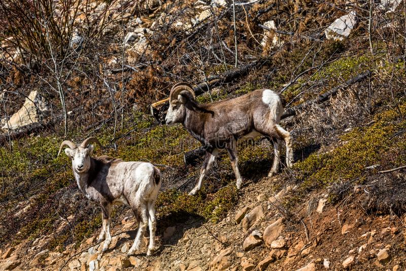 Two wild Stone Sheep in remote Yukon Territory of Canada. Two young rams on a slope near British Columbia royalty free stock photography