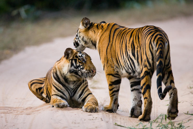 Two wild tiger on the road. India. Bandhavgarh National Park. Madhya Pradesh. An excellent illustration royalty free stock photo
