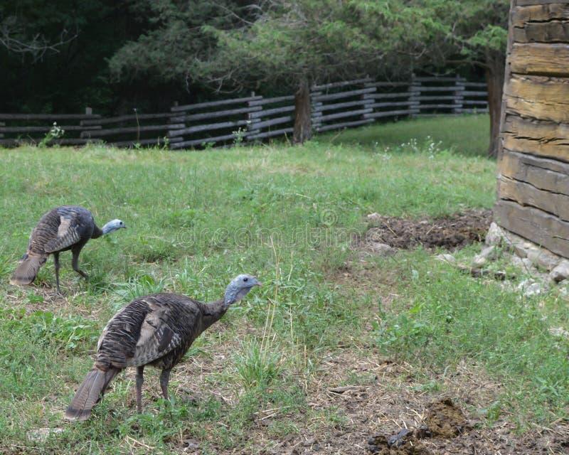 Wild Turkeys in Pasture near Barn stock image