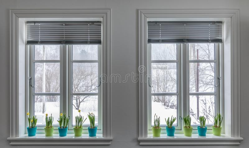Two windows decorated with colorful Flowerpots of Dwarf Daffodils, Narcissus. Springtime with snow outside. royalty free stock photos