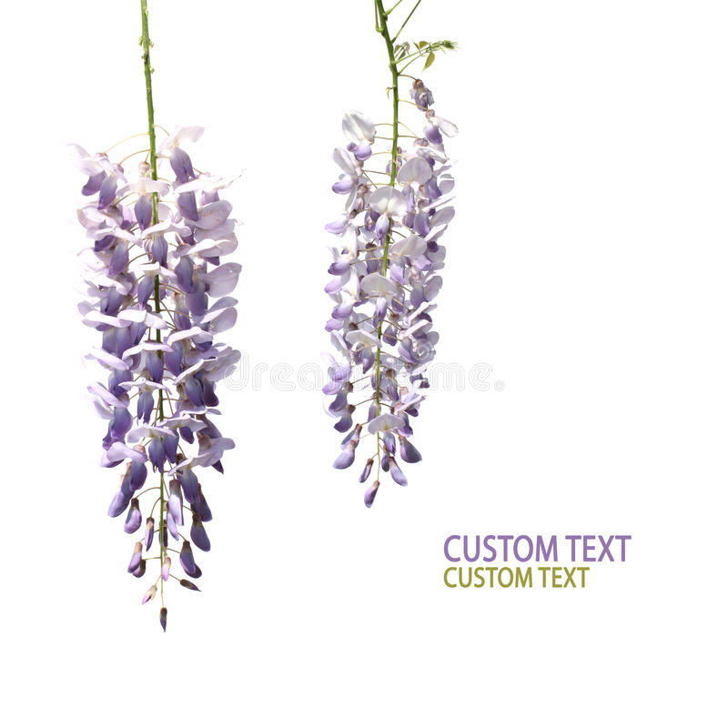 Free Two Wisteria Flowers Royalty Free Stock Images - 21581659