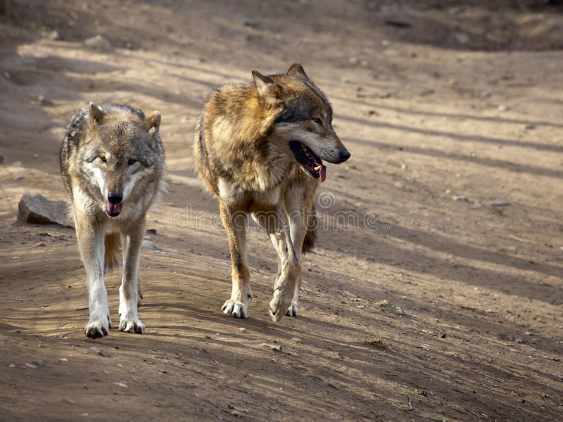 Download Two wolfs stock image. Image of carnivore, predator, wolfs - 24225411