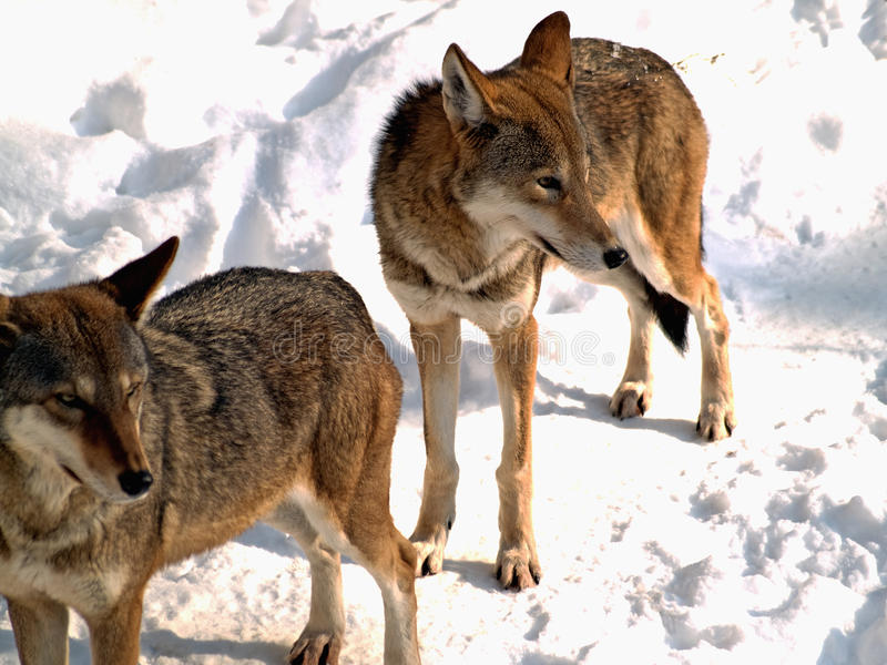 Download Two wolves stock photo. Image of woodlands, canine, mammals - 12829446