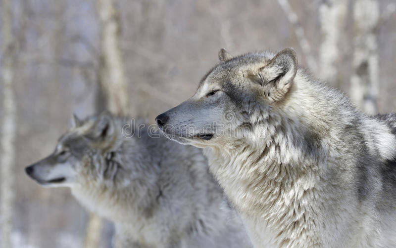 Two wolves in forest stock photos