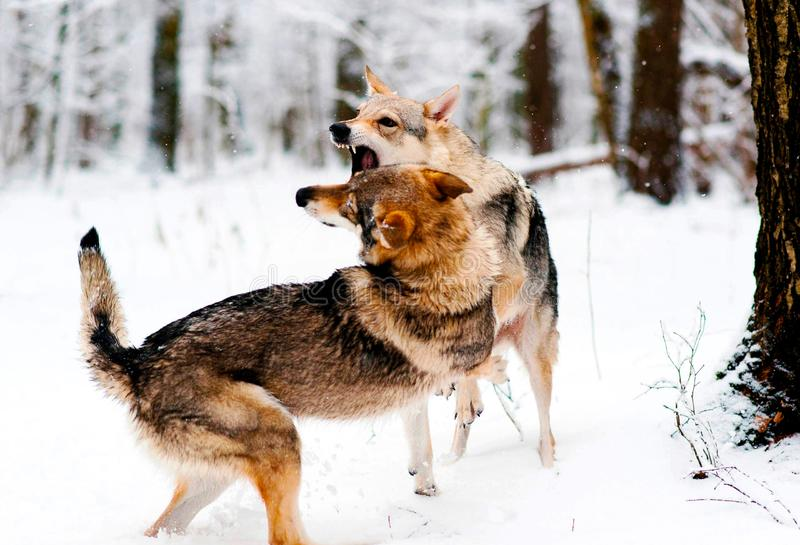 Two wolves gnaw in the woods royalty free stock photo